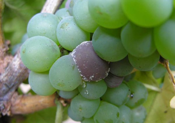 Первые симптомы появления аспергиллезной гнили на ягодах винограда