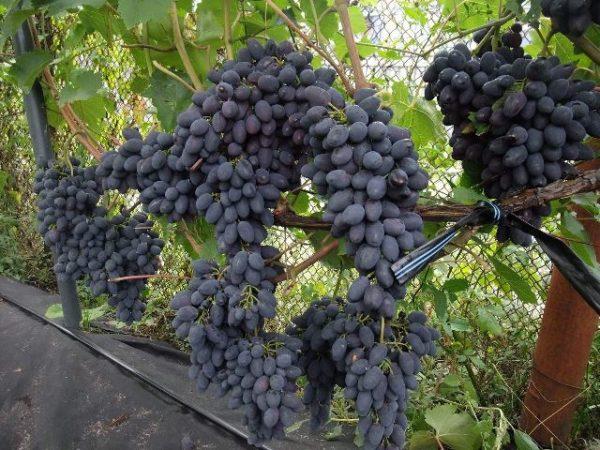 Виноград кадрянка
