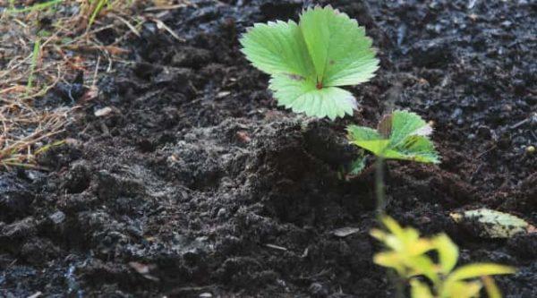 Перепревший компост насыщает почву