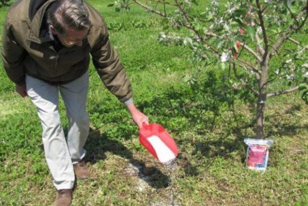 Подкормка плодовых деревьев нитратом кальция