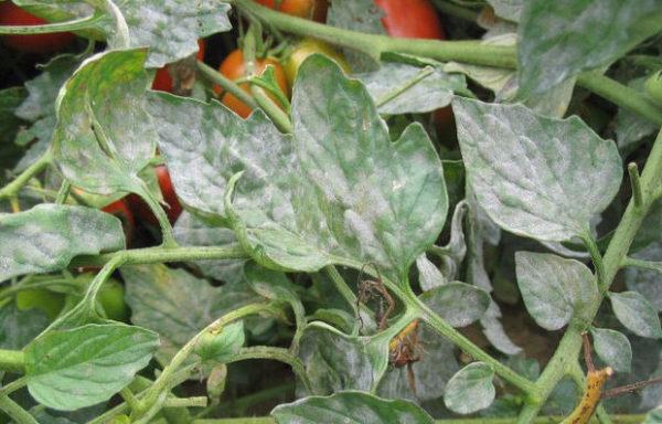 Листья помидоров, пораженные мучнистой росой