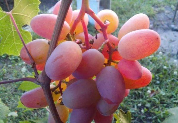 Виноград преображение крупным планом на лозе