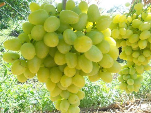 Ягода винограда аркадия крупным планом