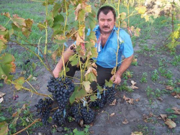 Уход за виноградом сорта велика