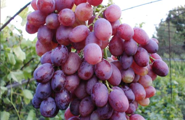 Виноград сорта кишмиш