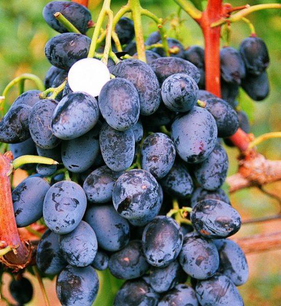 Виноград кубань крупным планом