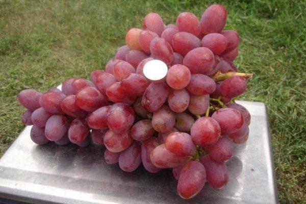 Ягоды винограда Анюта овальной или яйцевидной формы