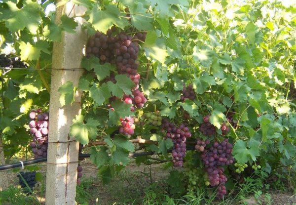 Лоза винограда сорта кардинал