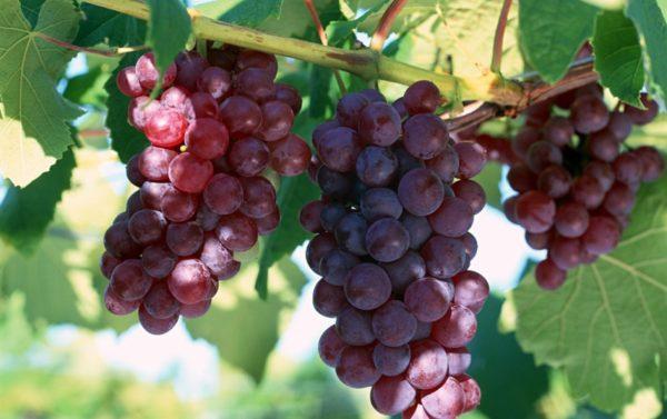 Грозди винограда лидия на лозе