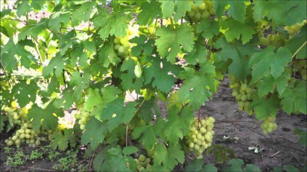 Лоза винограда кеша