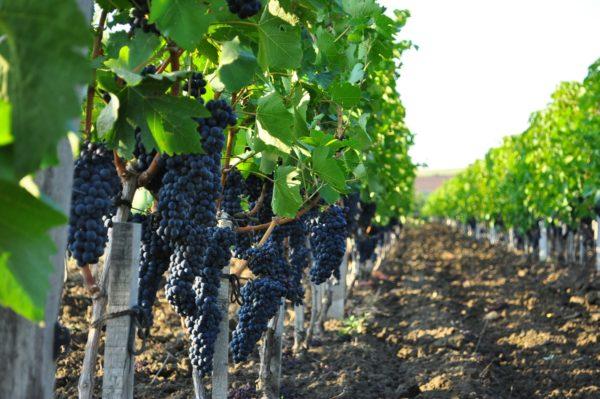 Выращиваемый технический сорт винограда