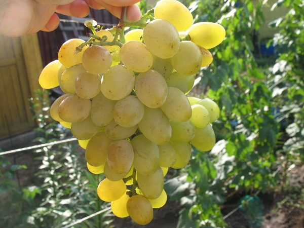 Гроздь винограда Восторг