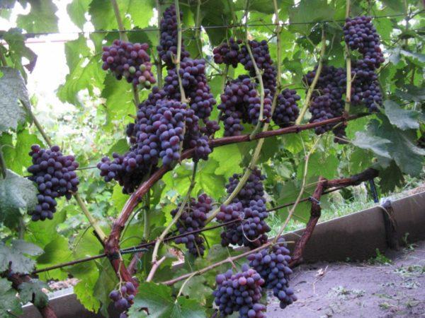 Виноград кишмиш растущий в теплице