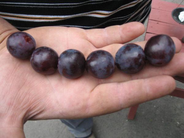Ягоды винограда рошфор на ладони крупным планом