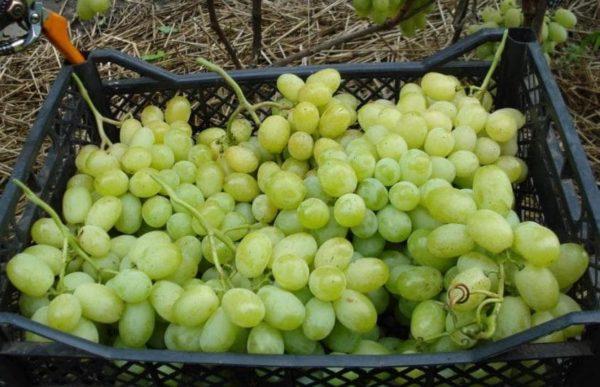 Собранный виноград лора и готовый к транспортировке