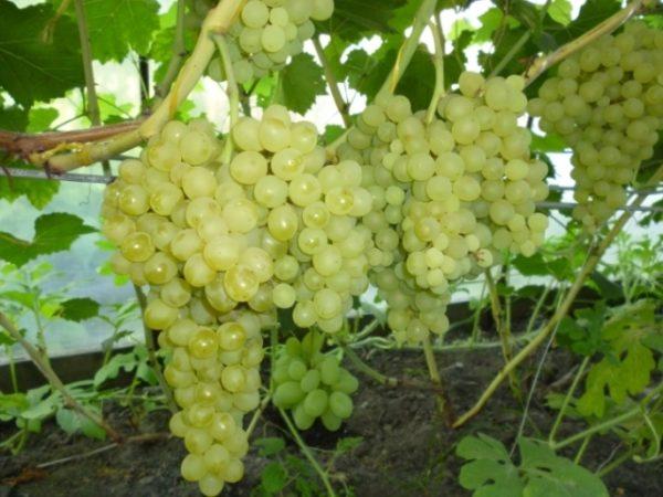 Виноград сорта кишмиш 342 на кусте