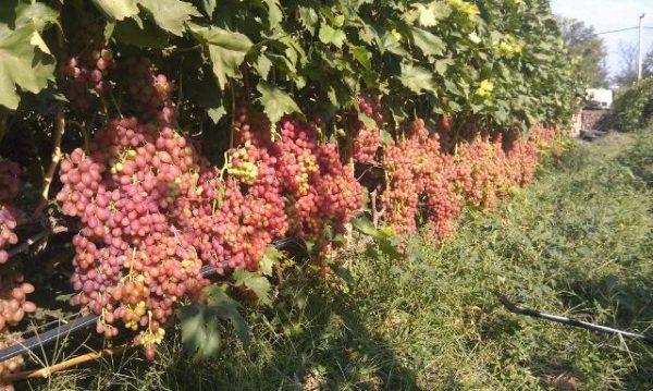 Поле винограда сорта Кишмиш Лучистый