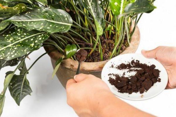 Кофейной гущей можно подкормить даже комнатные цветы