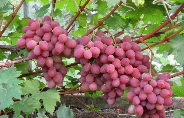 Среднеспелый сорт винограда Анюта