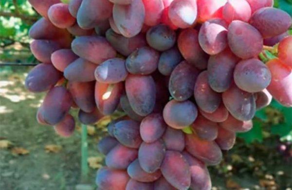 Ягоды винограда сорта красотка крупным планом