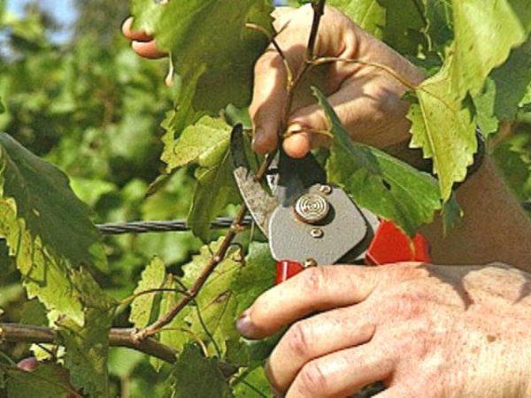 Уход за молодой лозой винограда сорта алешенькин