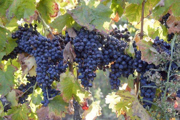Виноград сорт Мерло