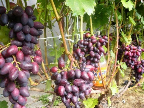 Виноградные лозы сорта красотка