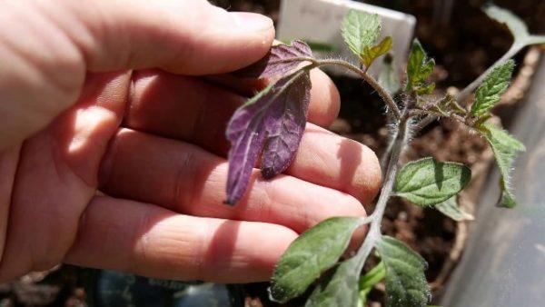 Фиолетовые листья на рассаде томатов