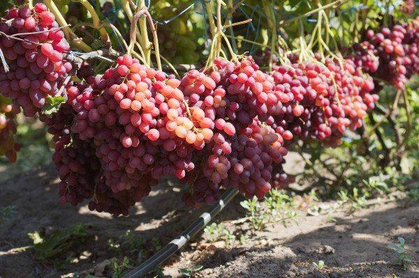 Крупные грозди винограда Велес