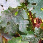 Признаки поражения листьев винограда оидиумом