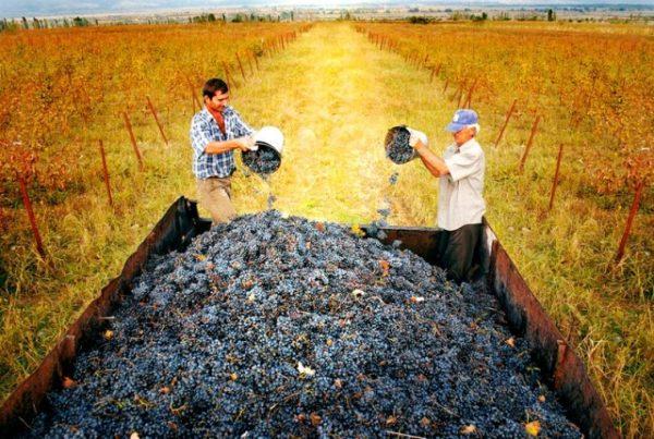 Собранный урожай винограда сорта красотка