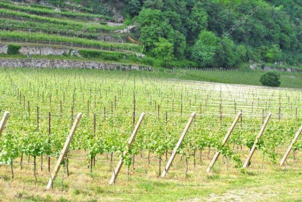 Шардоне виноградной лозы.