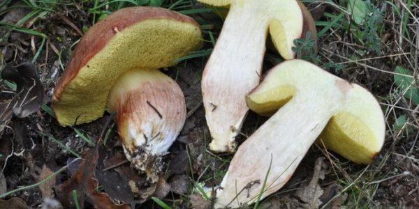 Шляпочный гриб в разрезе