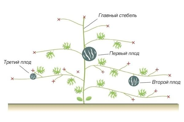 Схема формирования плетей тыквы
