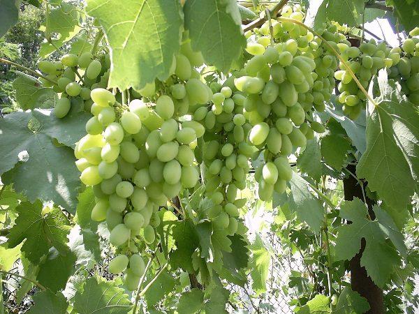 Столовый виноград Агадаи