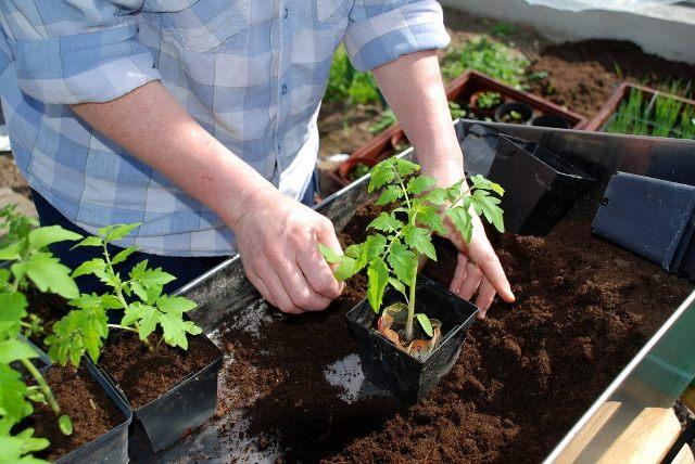 Выращивание рассады помидор для открытого грунта