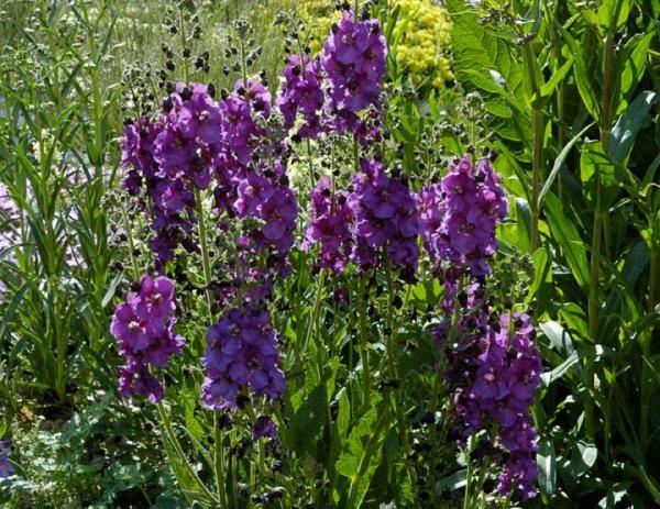 Фиолетовый коровяк