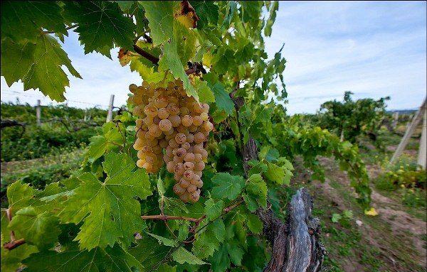 Виноград Альбильо крымский
