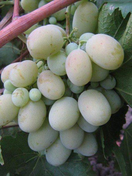 Виноград Кодрянка белая