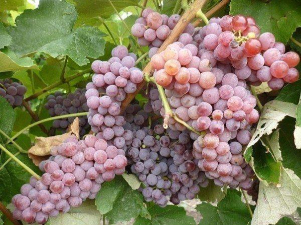 Виноград Рилайнс пинк сидлиса