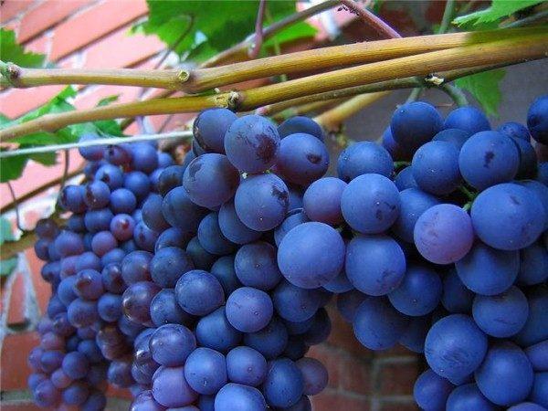 Виноград Сенсо