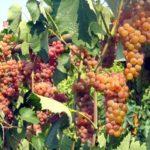 Виноград Сомерсет сидлисс