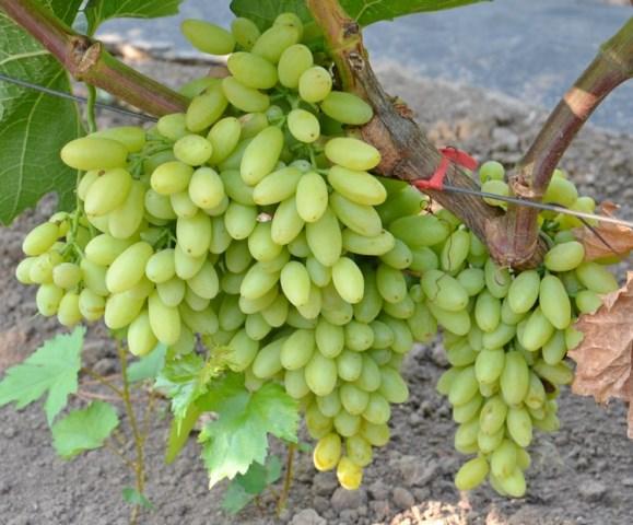 Грузди винограда столетие