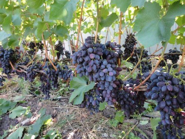 Кисти винограда кадрянка на лазе