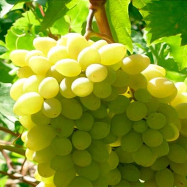 Виноград сорт Чауш