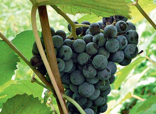 Виноград сорт Дальневосточный Новикова