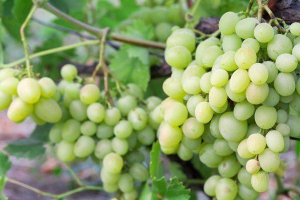 Виноград сорт Кеша
