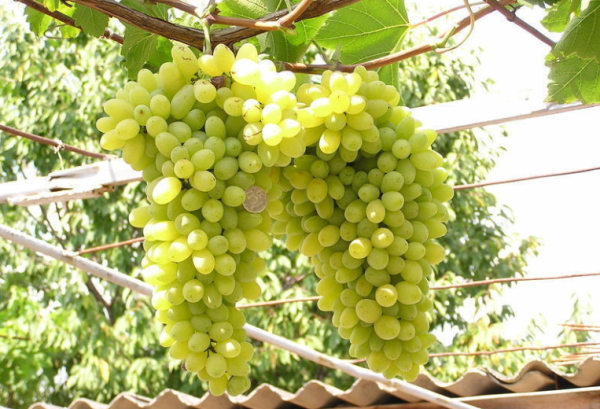 Виноград сорт Лора