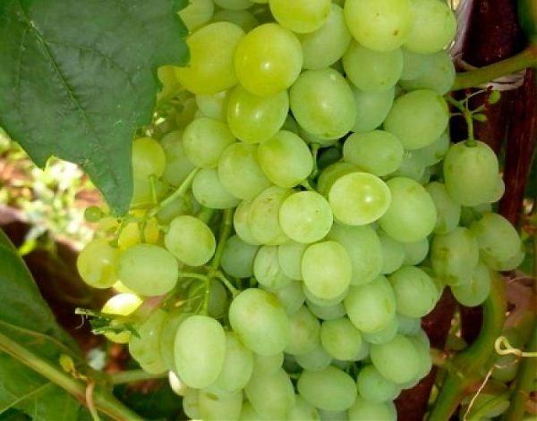 Виноград сорт Московский