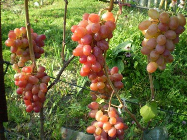 Виноград сорт Нистру